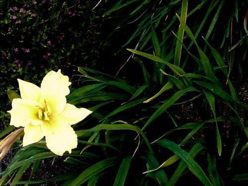 Daylily of December