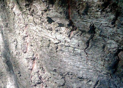 Rock or Oak