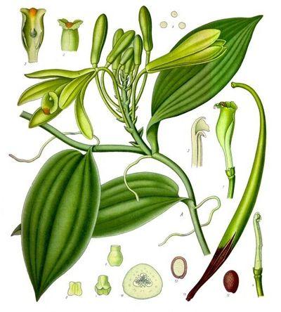 Vanilla planifolia - Köhlers Medizinal Pflanzen 1897