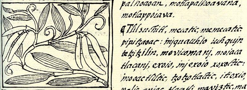 Vanilla - Florentine codex ca 1580