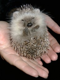 Little_hedgehog_photo_by_tburgey