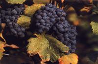 Mmmmmm . . . .  Pinot Noir . . . .