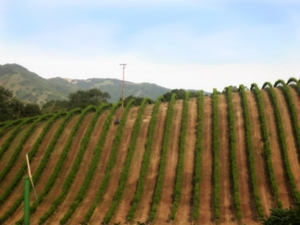 Vineyards_paso_robles_by_mooncat_small